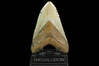"Buy Huge, 5.64"" Fossil Megalodon Tooth - North Carolina - #124456"