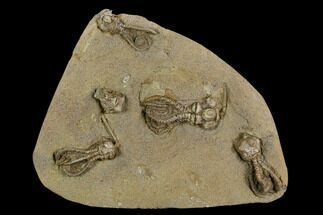 "6.4"" Plate of Five Jimbacrinus Crinoid Fossils - Australia  For Sale, #129404"