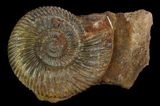 Parkinsonia sp. - Fossils For Sale - #129414