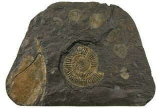 "Buy 11.45"" Fossil Ammonite (Dactylioceras) Cluster - Hanging Presentation - #129421"