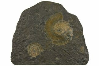 "12.1"" Wide Ammonite Plate (Harpoceras, Dactylioceras) - Germany For Sale, #129422"