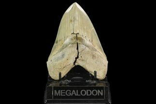 Carcharocles megalodon - Fossils For Sale - #129450