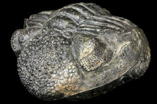 "Buy Bumpy, Enrolled Drotops Trilobite - About 4.5"" Around - #128977"