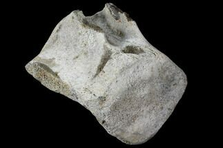 "Large, 8"" Fossil Whale Vertebra - Yorktown Formation For Sale, #129582"