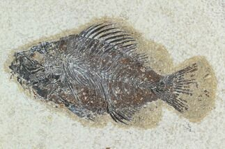 "Buy 4.4"" Fossil Fish (Cockerellites) - Green River Formation - #129697"
