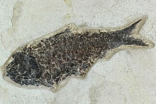 "6.9"" Fossil Fish (Knightia) - Green River Formation For Sale, #129728"