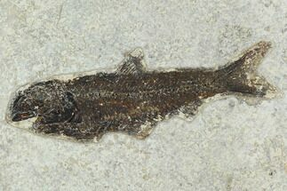 "Buy 5.6"" Fossil Fish (Knightia) - Green River Formation - #129763"