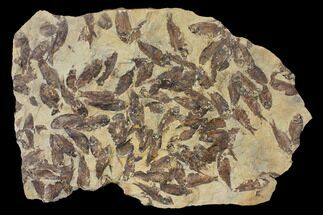 Gosiutichthys parvus (Knightia?) - Fossils For Sale - #130098