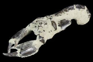 "Buy 7.1"" Fossil Mud Lobster (Thalassina) - Indonesia - #130162"