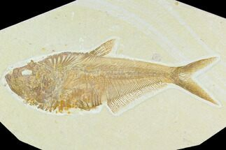 "6.35"" Fossil Fish (Diplomystus) - Green River Formation For Sale, #130307"