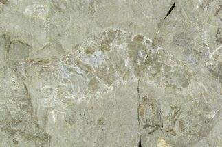 "3.4"" Fossil Shrimp (Aenigmacaris) Plate - Bear Gulch Limestone For Sale, #130256"