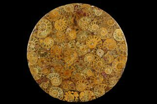 "8"" Composite Plate Of Agatized Ammonite Fossils For Sale, #130571"