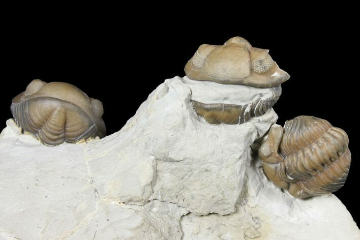 Three Enrolled Acernaspis Trilobite - Quebec
