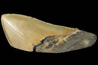 "4.99"" Serrated, Fossil Megalodon Tooth ""Paper Weight"" For Sale, #130865"