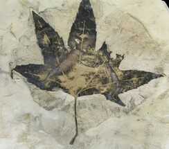 Acer lesquereuxi - Fossils For Sale - #130446