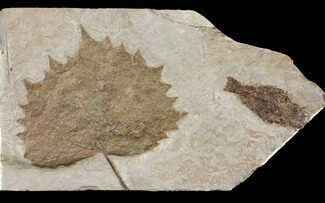 "13.8"" Miocene Fossil Fish & Leaf (Platanus) Plate - Nebraska For Sale, #131093"