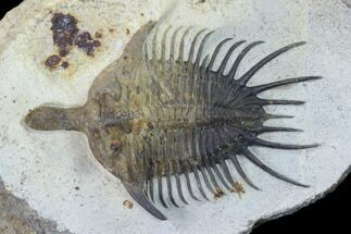 "3.3"" Psychopyge Trilobite With Short (Bitten?) Genal Spines For Sale, #131288"
