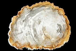 "11.3"" Tropical Hardwood Petrified Wood Dish - Indonesia For Sale, #131453"