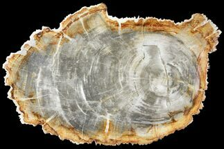 "Buy 13.1"" Tropical Hardwood Petrified Wood Dish - Indonesia - #131458"