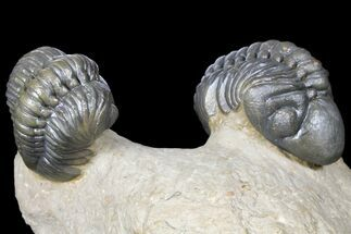 Buy Pair Of Nice Reedops Trilobite - Atchana, Morocco - #131338