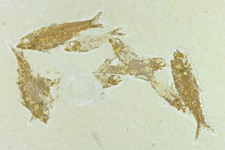 Knightia eocaena - Fossils For Sale - #131535