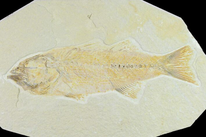 "Bargain 8.2"" Fossil Fish (Mioplosus) - Uncommon Species"