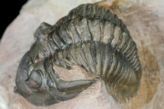 Metacanthina issoumourensis - Fossils For Sale - #130527