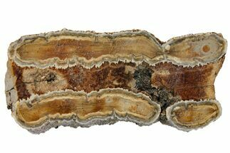 "2.2"" Mammoth Molar Slice With Case - South Carolina For Sale, #130682"