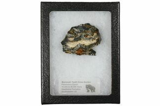 "Buy 1.7"" Mammoth Molar Slice With Case - South Carolina - #130693"