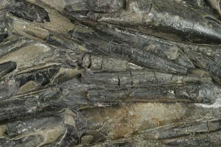 "Buy 5.7"" Plate Of Belemnite Fossils - England - #131983"