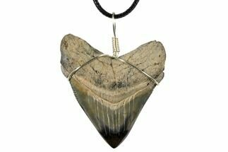 "Buy 2.25"" Fossil Chubutensis Tooth Necklace - Megalodon Ancestor - #130954"