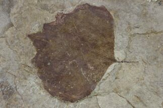 "2.2"" Fossil Poplar Leaf (Populus) - Nebraska For Sale, #132995"