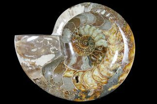 "Buy 6.8"" Wide Polished Fossil Ammonite ""Dish"" - Inlaid Ammonite - #133252"