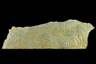 "13.3"" Fossil Stromatolite/Microbial Mat - Oklahoma For Sale, #133151"