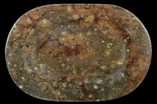 "13.2"" Fossil Orthoceras & Goniatite Oval Plate - Stoneware For Sale, #133565"