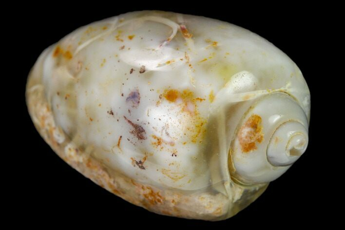 ".95"" Polished, Chalcedony Replaced Gastropod Fossil - India"