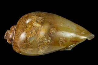 "1.07"" Polished, Chalcedony Replaced Gastropod Fossil - India For Sale, #133535"