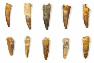 "Buy Wholesale Lot: 1.5 to 2.1"" Bargain Spinosaurus Teeth - 10 Pieces - #133405"