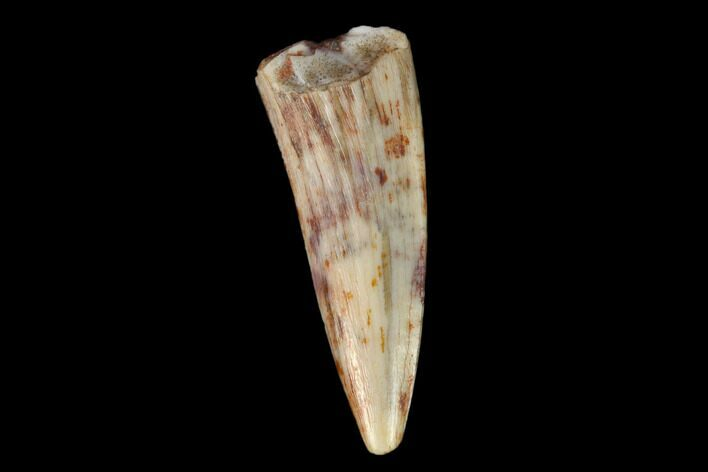 ".52"" Fossil Phytosaur Tooth - New Mexico"