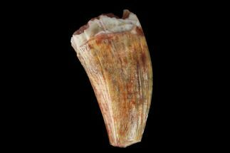 "Buy .57"" Fossil Phytosaur Tooth - New Mexico - #133330"