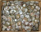 "Wholesale Lot - 1.6 to 2.1"" Polished Fossil Goniatites - 200 Pieces - #133699-1"