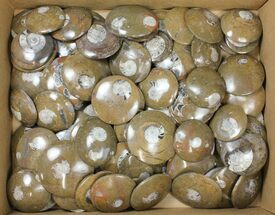 "Buy Wholesale Lot - 2.5 to 3"" Polished Goniatite Fossils - 90 Pieces - #133894"