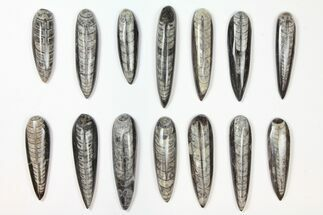 Orthoceras sp. - Fossils For Sale - #134130