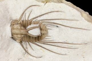 "1.9"" Rare Dicranurus Trilobite - Black Cat Mountain, Oklahoma For Sale, #134213"