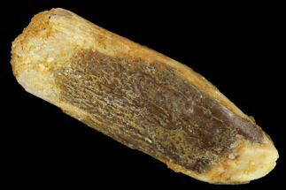 "1.1"" Fossil Sauropod Dinosaur (Rebbachisaurus) Tooth - Morocco For Sale, #134375"