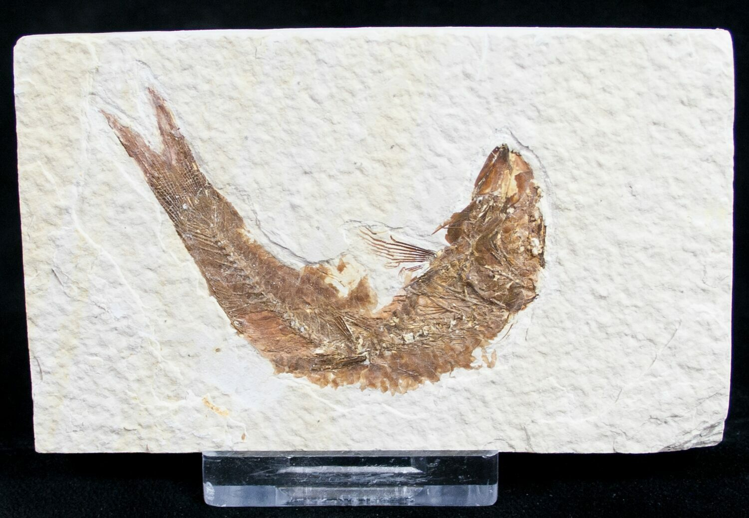 Bargain 3 knightia fossil fish wyoming for sale 9441 for Fish fossils for sale