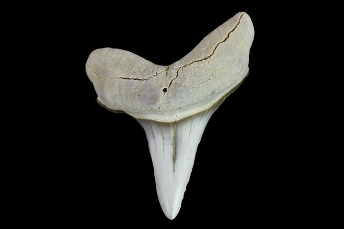 ".85"" Fossil Shark (Cretoxyrhina) Tooth - Kansas"