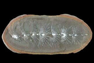 "3.3"" Fossil Horsetail (Asterophyllites) Nodule - Mazon Creek For Sale, #134867"
