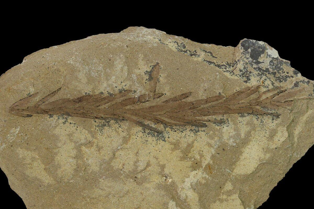 1 7 U0026quot  Dawn Redwood  Metasequoia  Fossil
