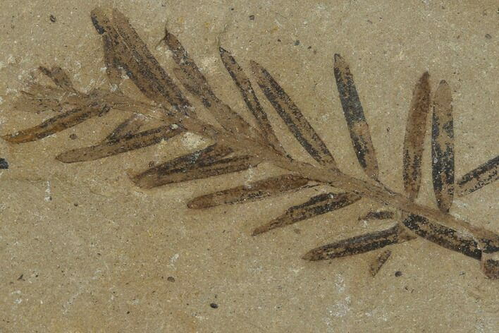 Dawn Redwood (Metasequoia) Fossil - Montana